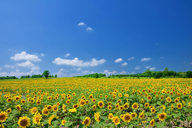 Blue Sky and Sunflowers stock photo
