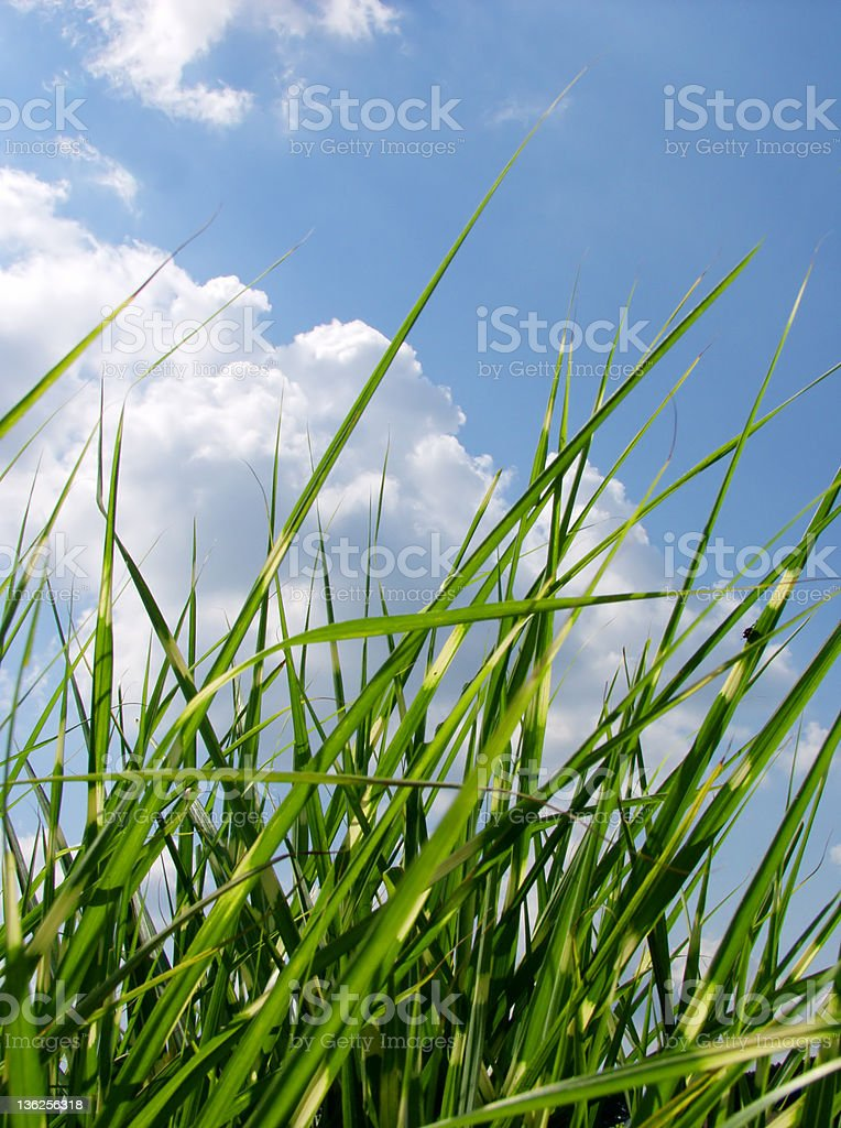 blue sky and tall grass royalty-free stock photo