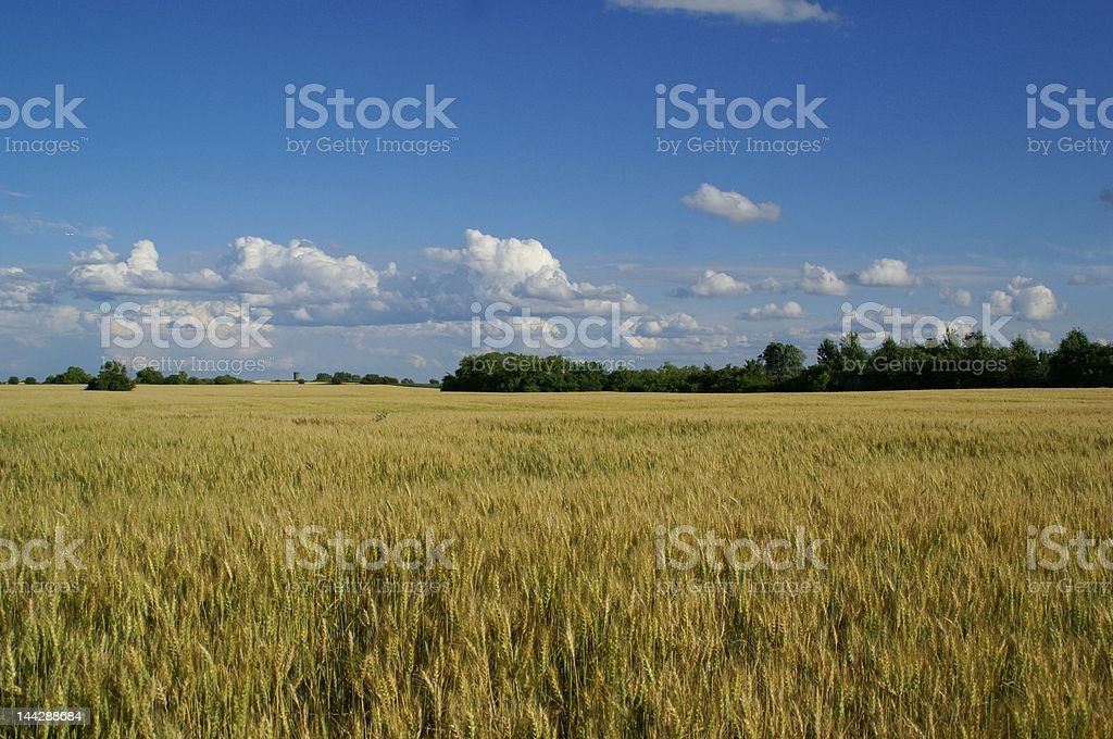 blue sky and wheat royalty-free stock photo