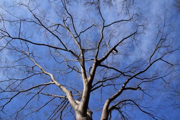 Bleu ciel et les arbres d'hiver - Photo