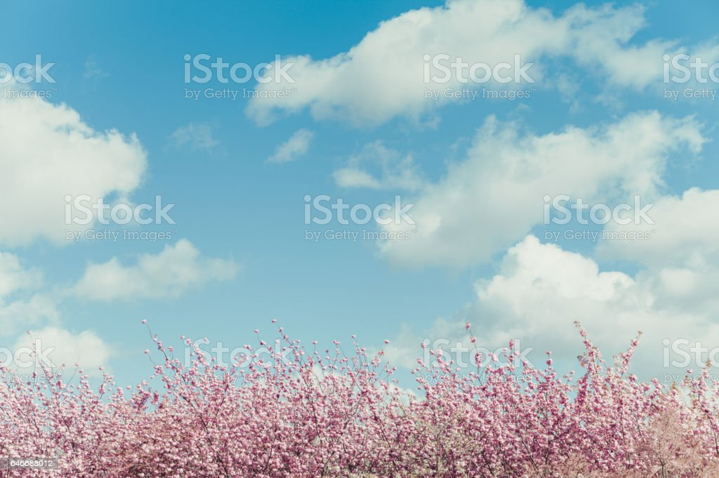 Blue sky background with cherry blossom royalty-free stock photo
