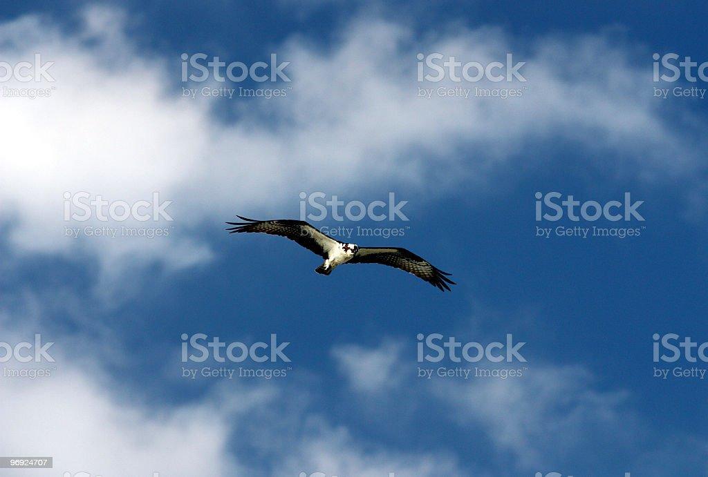 Blue Sky Clouds & Osprey royalty-free stock photo