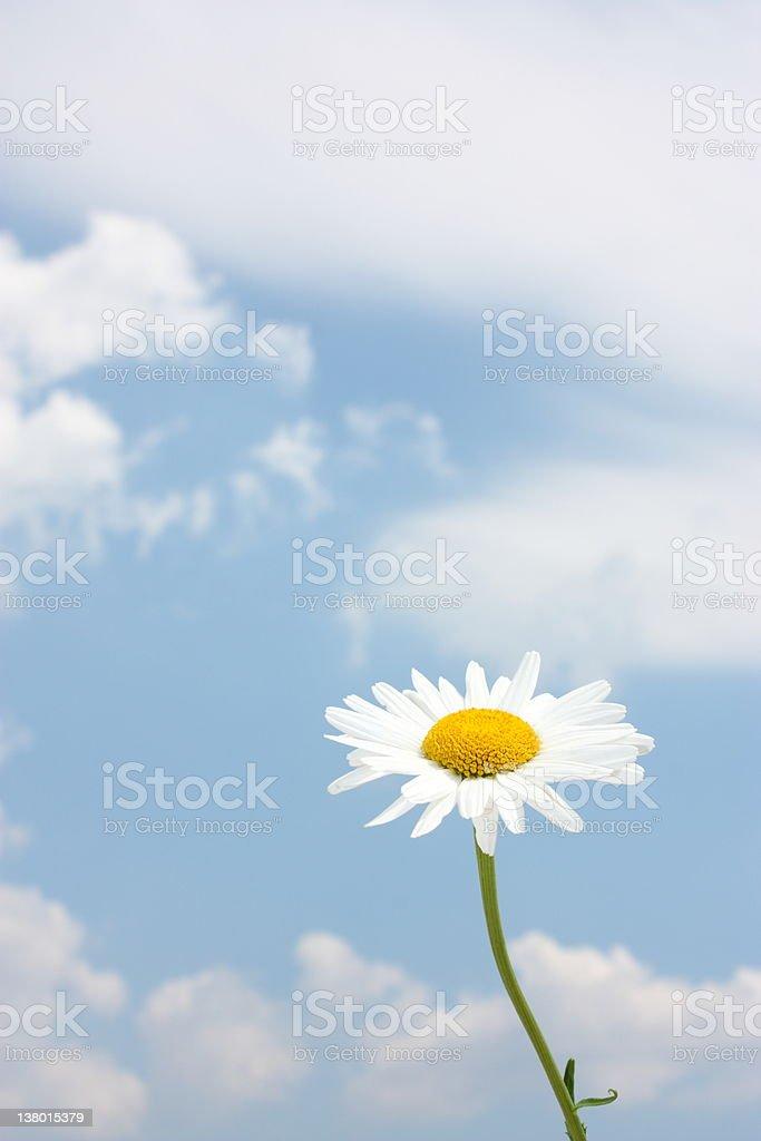Blue sky daisy meadow stock photo