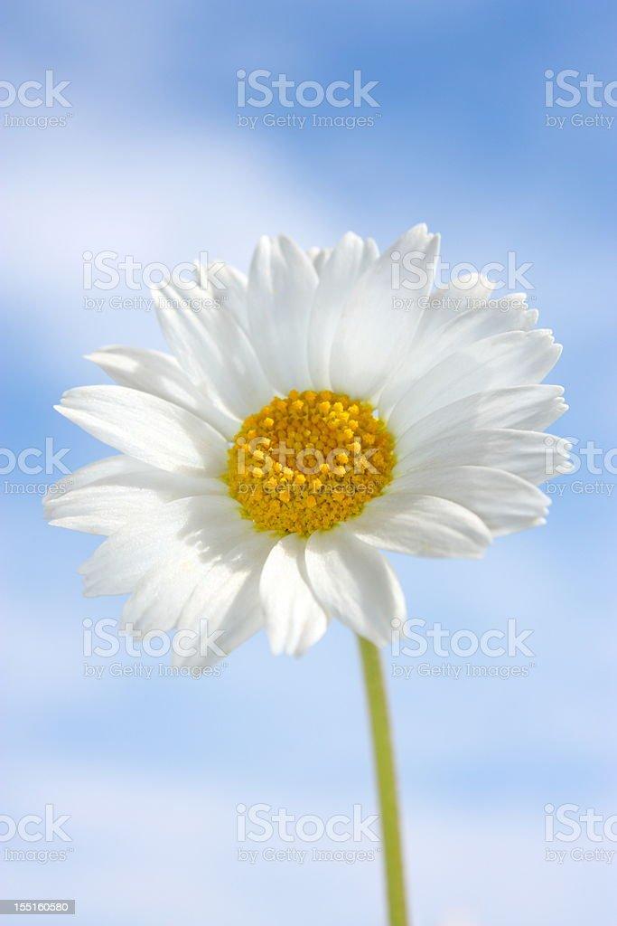 Blue sky daisy stock photo
