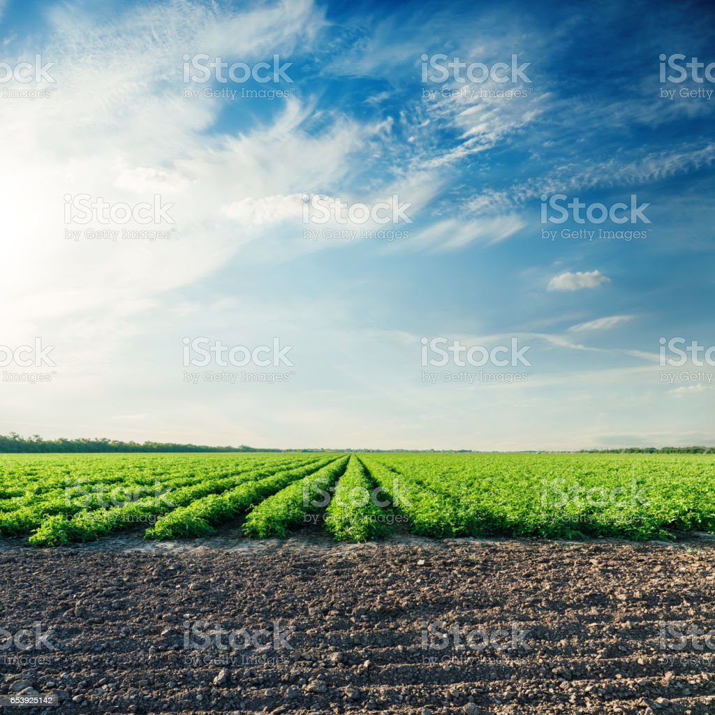 blue sky in sunset time over green field with tomato bushes stock photo