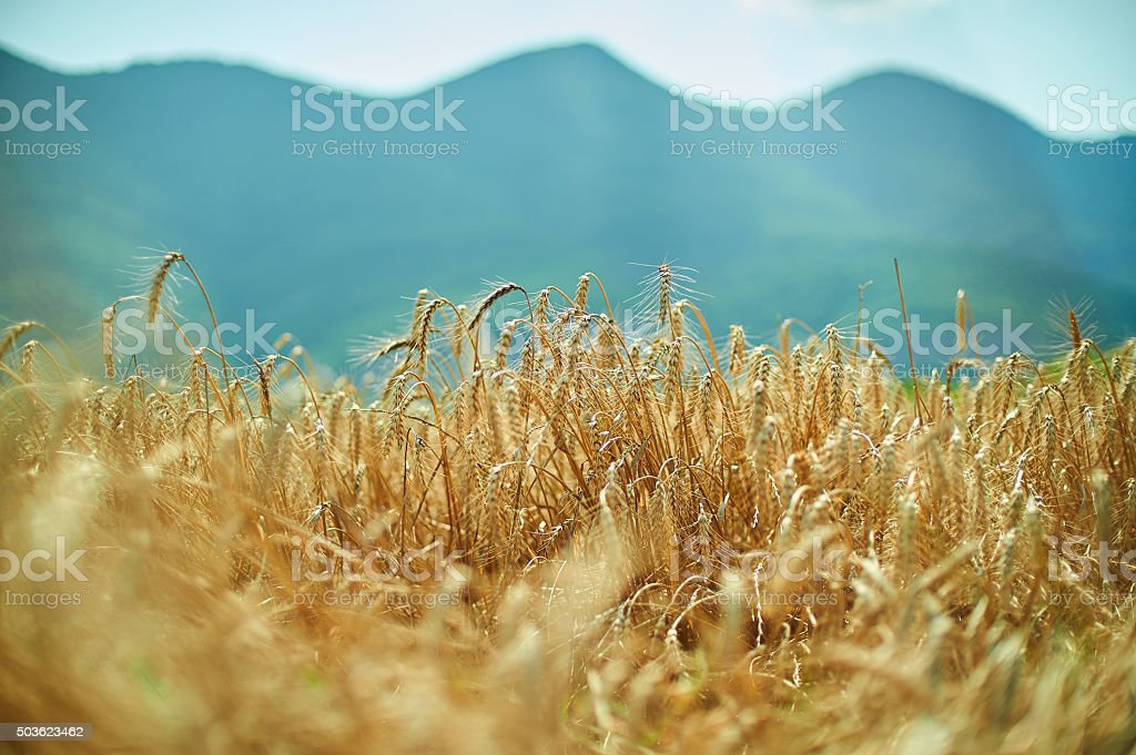 blue sky, mountains and golden yellow wheat spiklets field horiz stock photo
