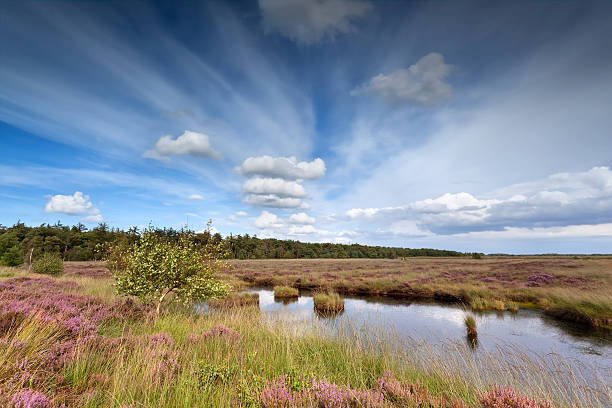 blue sky over swamp with heather foto