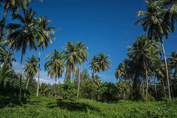 céu azul de verão tropical palma árvores - oleo palma imagens e fotografias de stock
