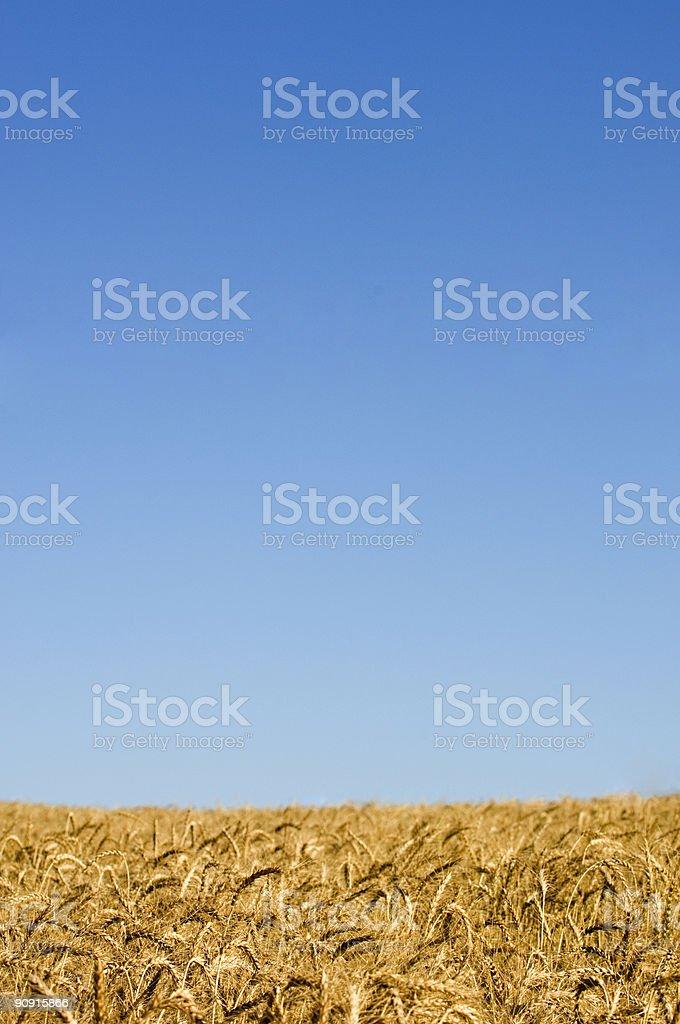 Blue Sky Wheat royalty-free stock photo