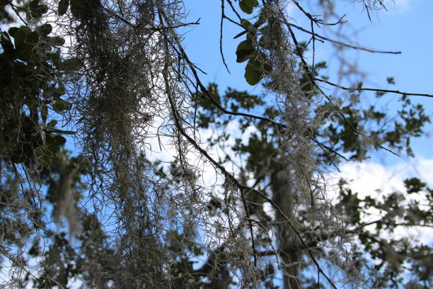 Blue sky, white clouds, Spanish moss, bare trees stock photo