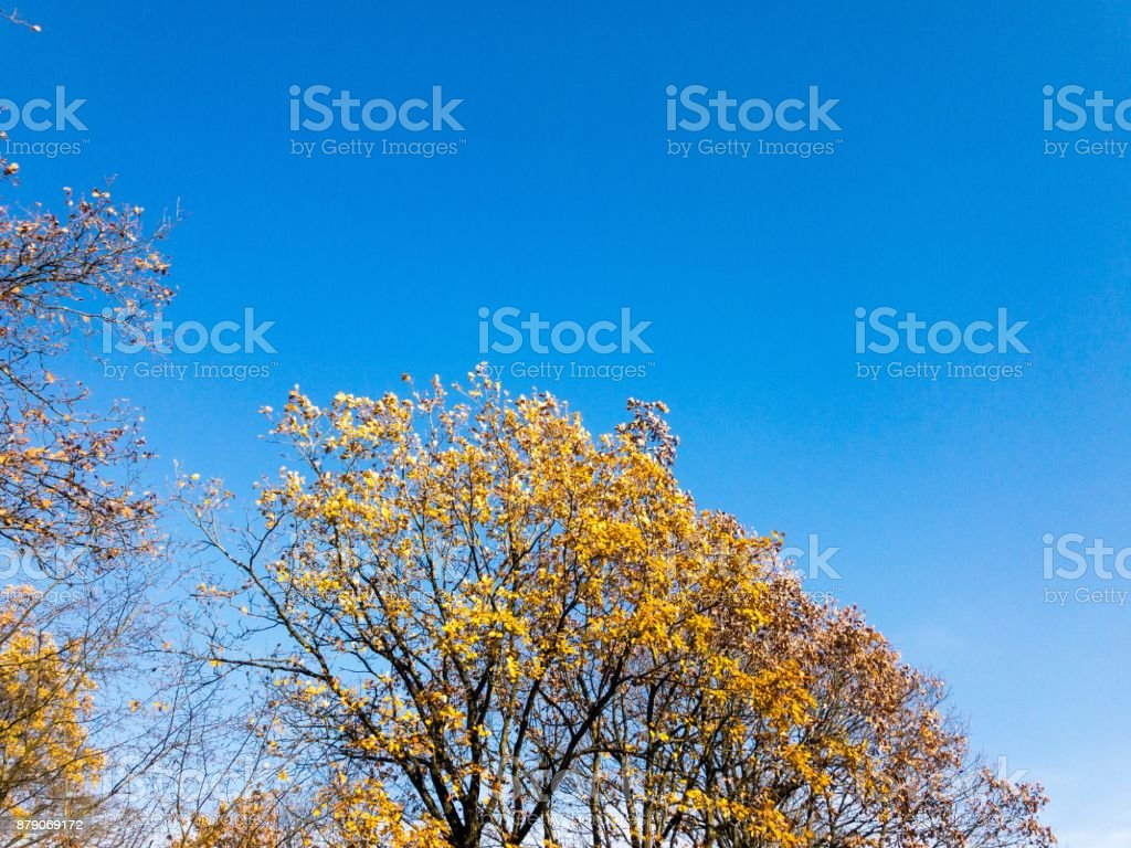 Blue sky with yellow autumn leaves tree stock photo