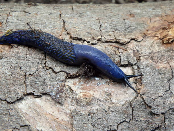 Blue slug in the woods Blue slug in the woods, (Bielzia coerulans), slime mold stock pictures, royalty-free photos & images