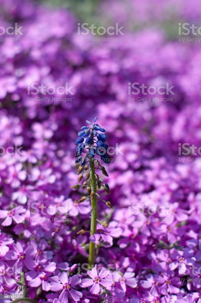 Blue small flower in the middle of purple flowers stock photo