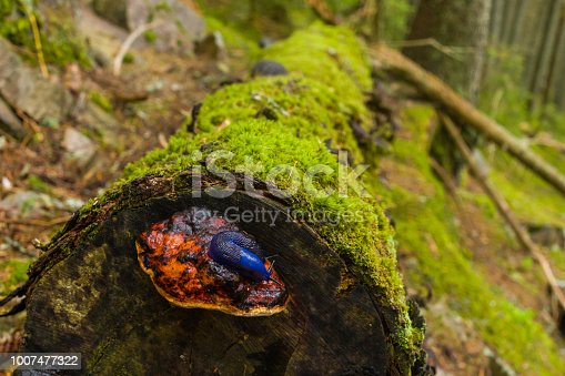 A blue snail is sitting on the fungus on a mossed tree trunk in the mountain forest.