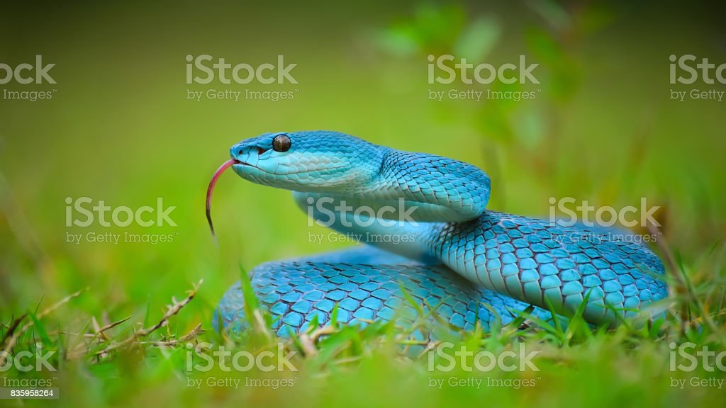 Blue Snake With Deadly Poison stock photo