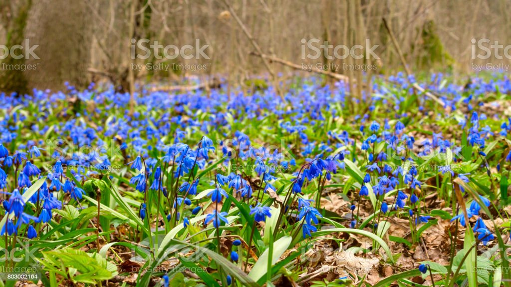 Blue snowdrop blossom flowers in early spring in the forest. Scilla siberica Squill stock photo