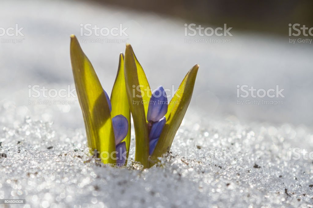 Blue snowdrop blossom flowers in early spring in the snow forest. Scilla siberica Squill stock photo
