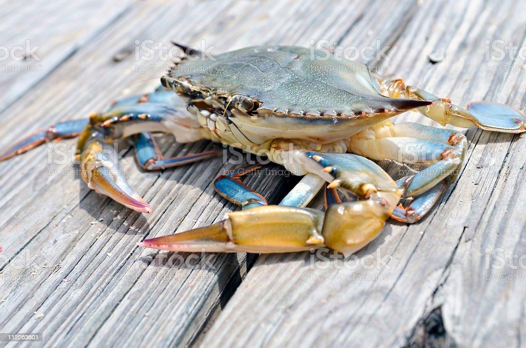 Blue soft shell Crab stock photo