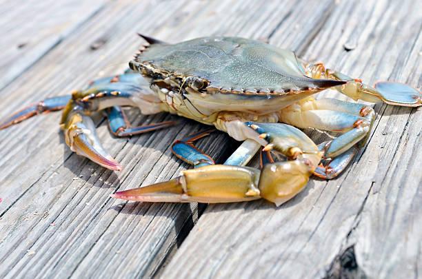 blue soft shell crab - blauwe zwemkrab stockfoto's en -beelden