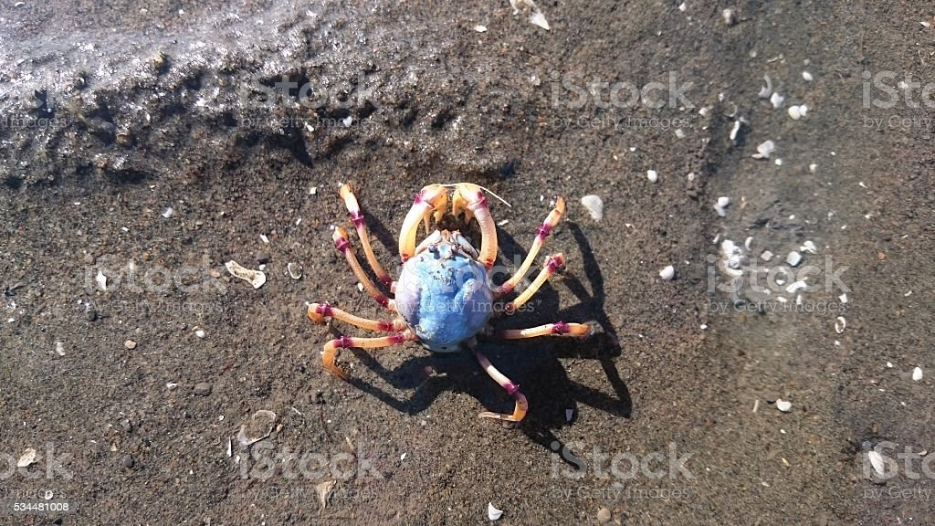 Blue soldier crab stock photo