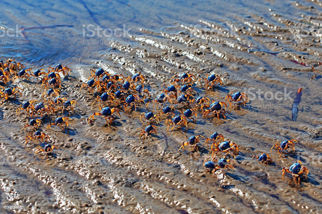 Blue Soldier Crabs stock photo