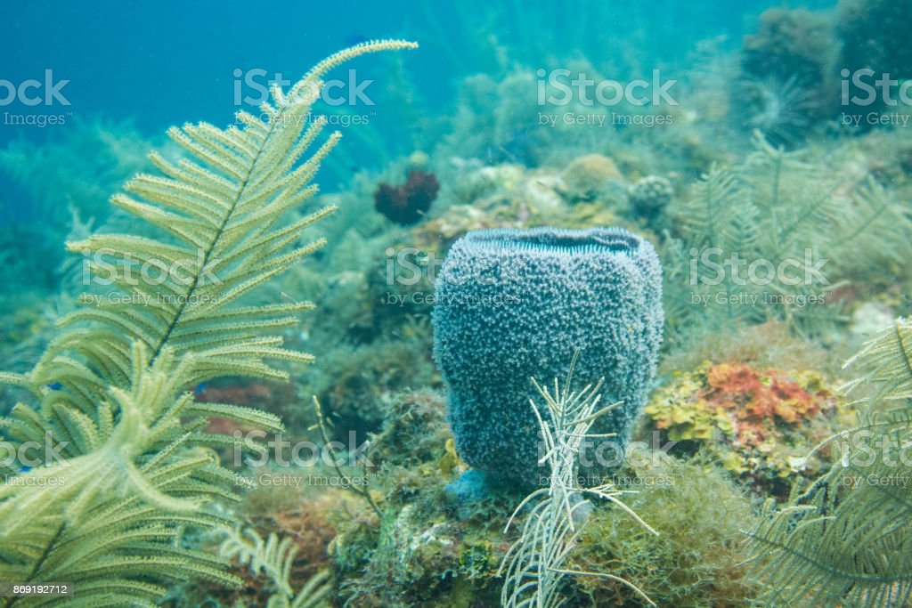 Blue sponge in the Caribbean stock photo
