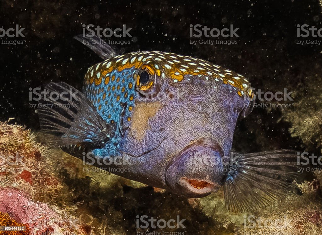 Ostraciidae tacheté bleu - Photo de Animaux à l'état sauvage libre de droits