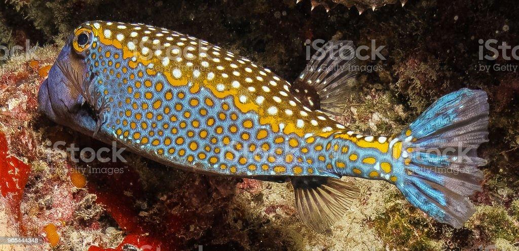blue spotted boxfish zbiór zdjęć royalty-free