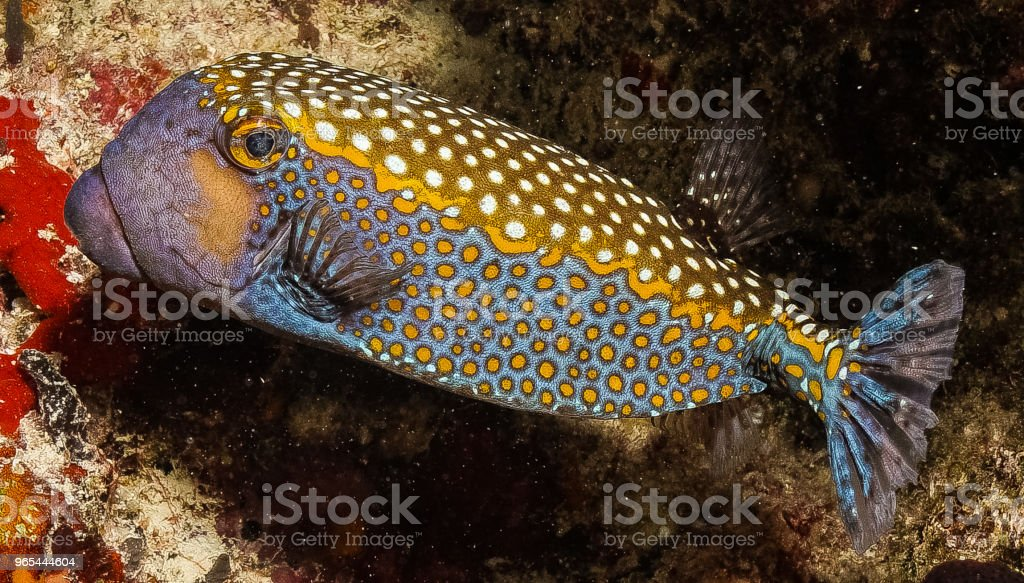 블루 얼룩된 boxfish - 로열티 프리 0명 스톡 사진