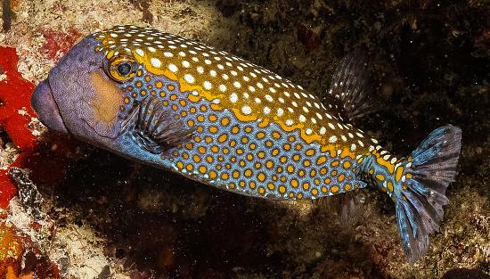 블루 얼룩된 Boxfish 0명에 대한 스톡 사진 및 기타 이미지