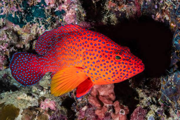 blue spotted coral grouper - tropikalna ryba zdjęcia i obrazy z banku zdjęć