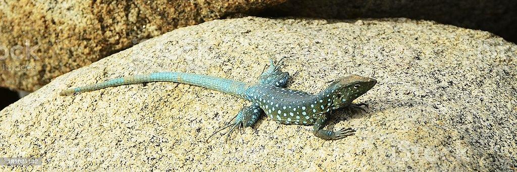 Blue Spotted Iguana stock photo