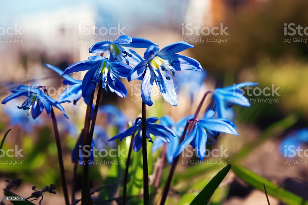 Blue spring flowers stock photo