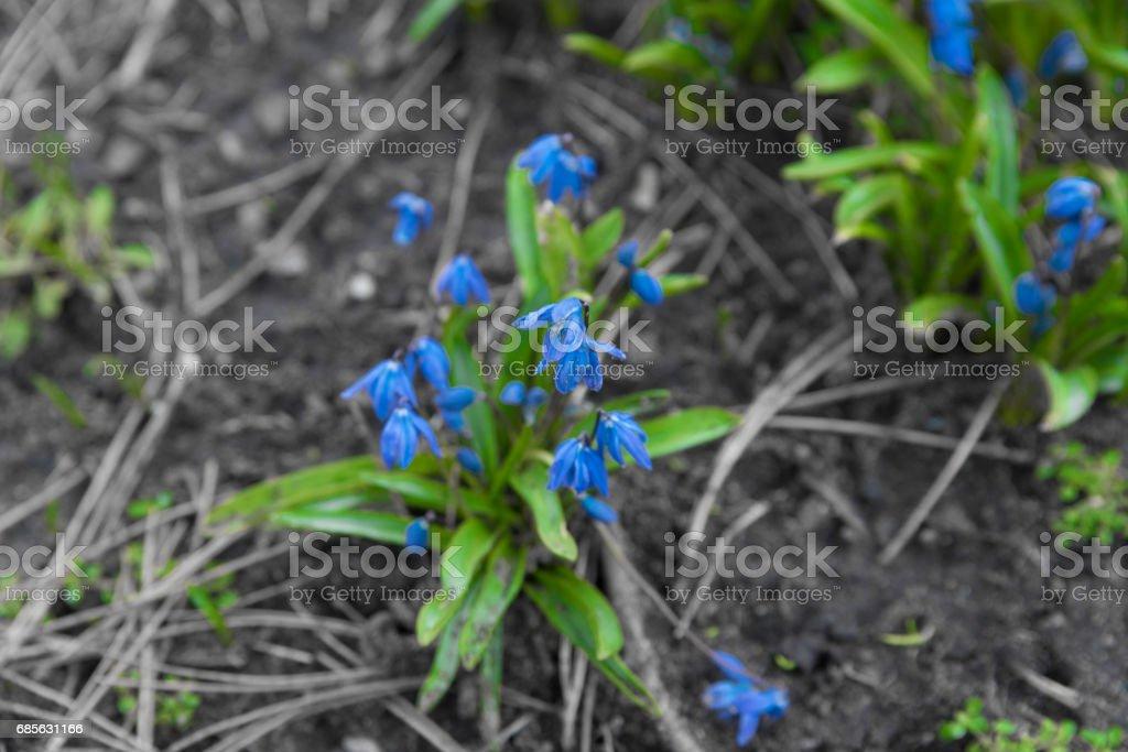 藍色的春天的花朵 免版稅 stock photo