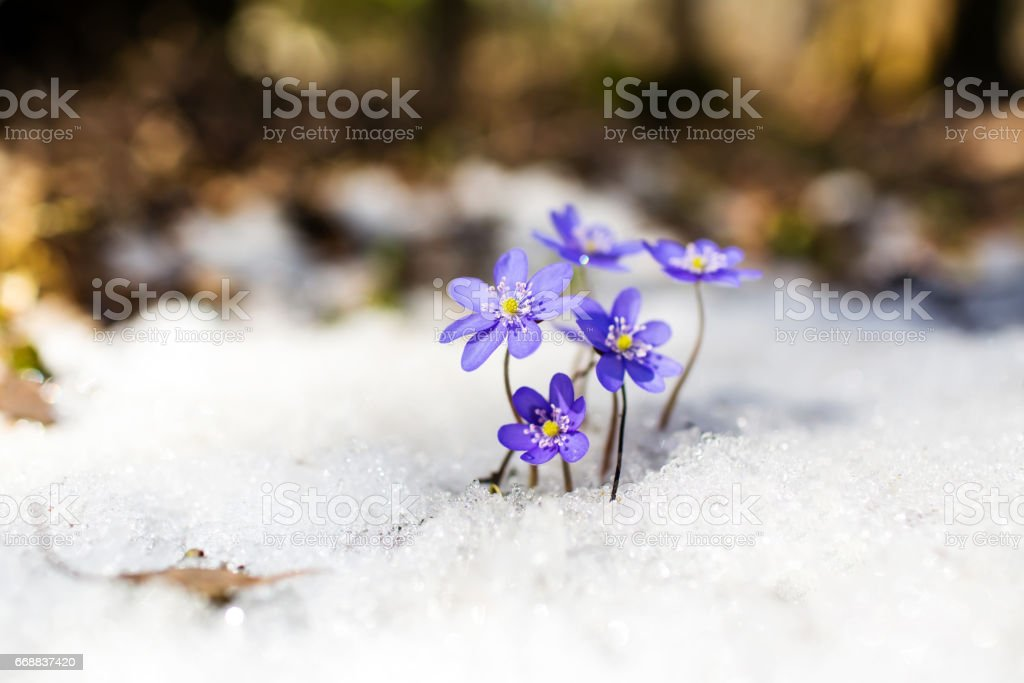 Blue spring snowdrops on the snow stock photo
