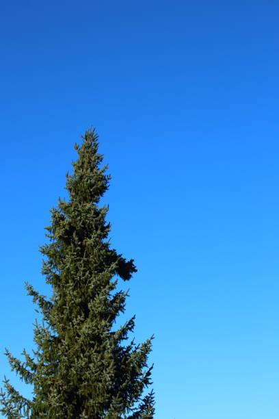 abeto vermelho azul (pungens de Picea) de encontro ao céu azul com espaço da cópia - foto de acervo