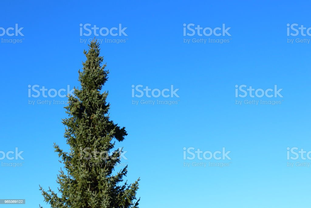 blue spruce (Picea pungens) against the blue sky with copy space royalty-free stock photo