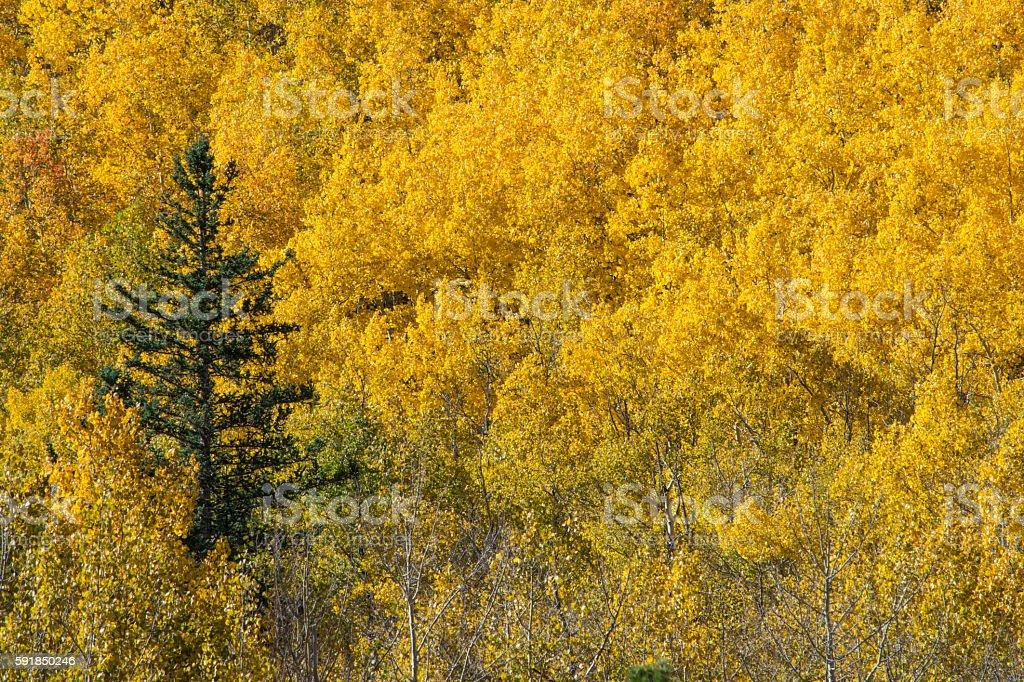 Blue Spruce among the Golden Aspen stock photo