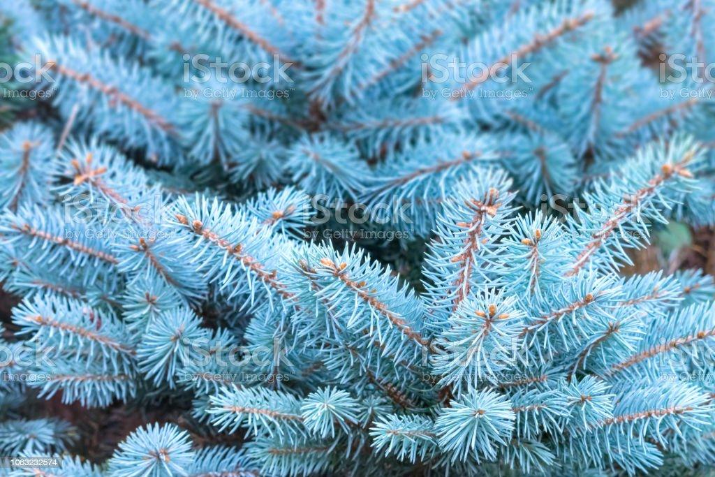 スプルース ブルー ブルースプルースを育てる方法:種子と挿し木から育てる