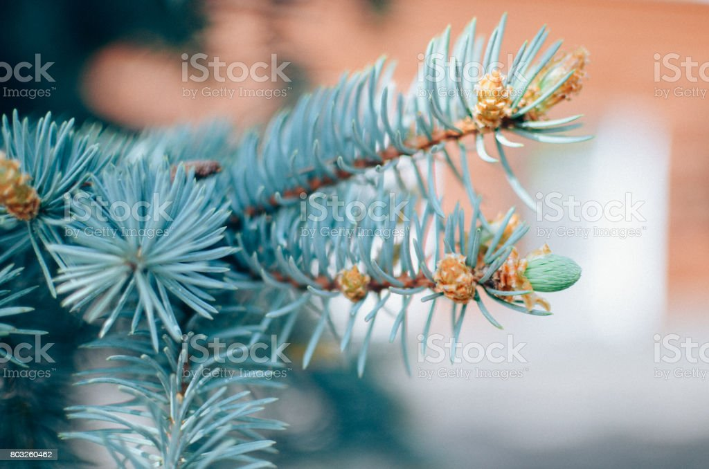 Blue spruce branches on background stock photo