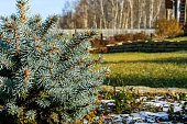 Landscape with blue spruce close-up and the earliest snow on the background of the autumn garden and a birch grove in the evening sunshine. Selective focus