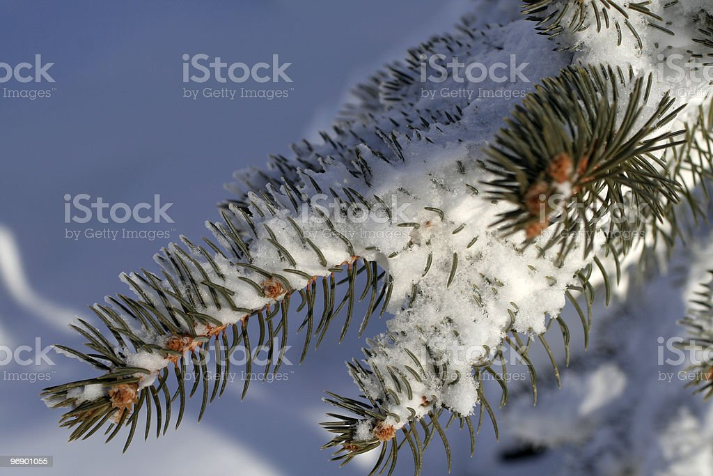 Blue Spruce in Snow royalty-free stock photo
