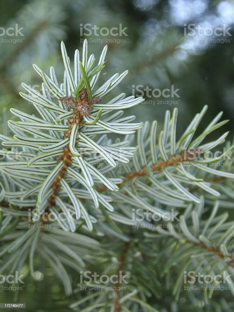 Blue Spruce - New Growth royalty-free stock photo