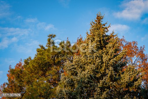 Blue spruce Picea pungens against background of golden foliage of red oak and beautiful needles of Pitsunda pine. Close-up. Evergreen landscaped garden. North Caucasus nature concept for design.