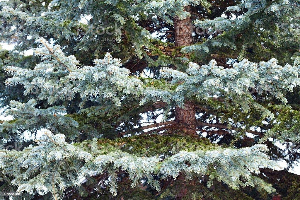 Blue spruce royalty-free stock photo