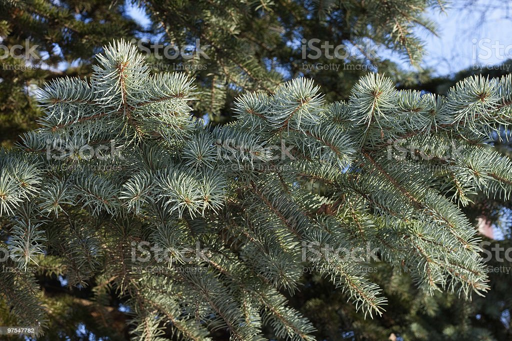 Blue spruce royalty-free stock photo