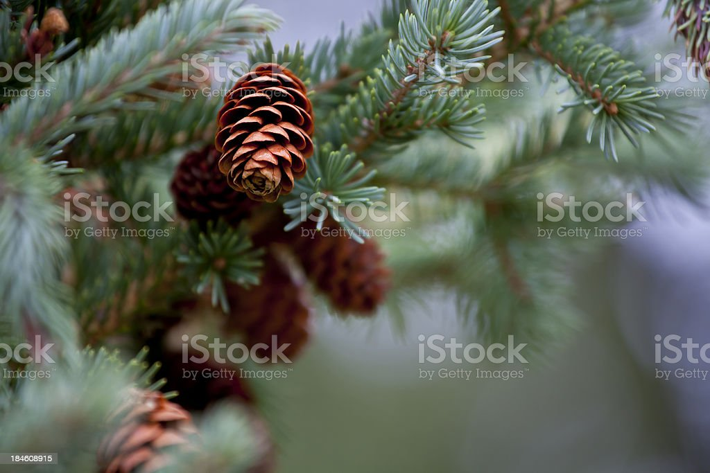 Blue Spruce Pine Cone and Branches stock photo