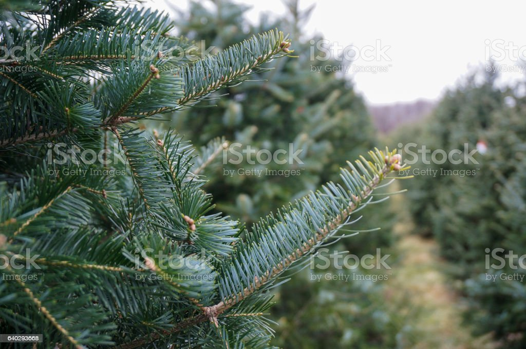 Blue Spruce Tree Branch stock photo