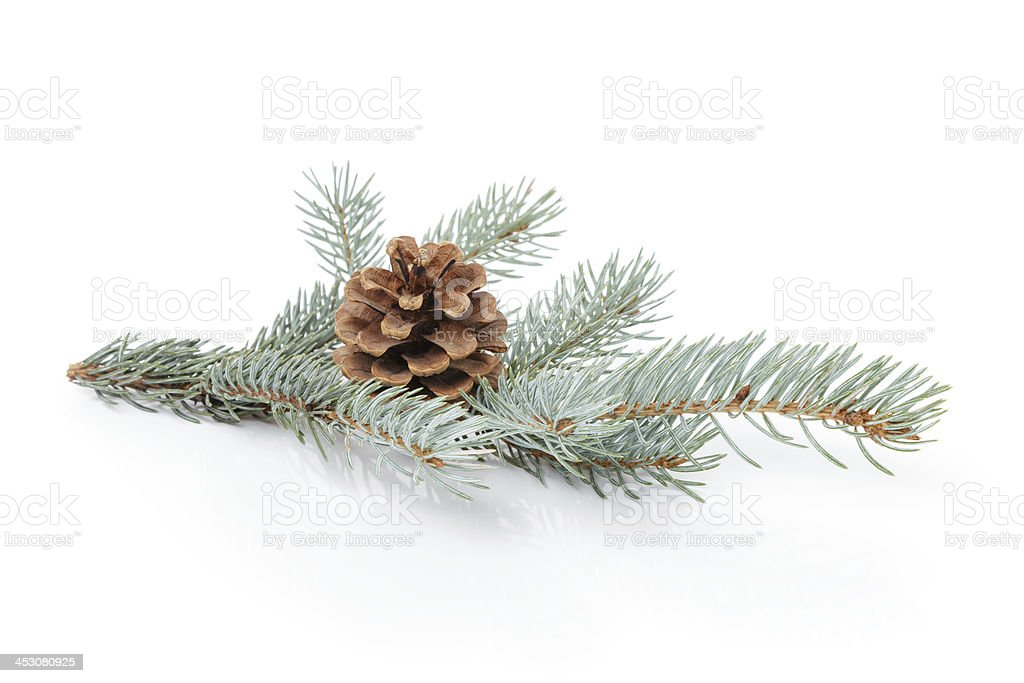blue spruce twig with cone stock photo