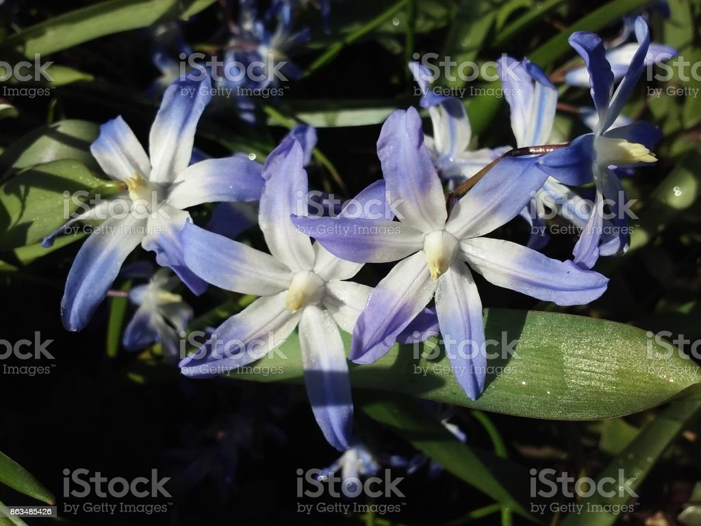 Blue Squill Blossoms stock photo